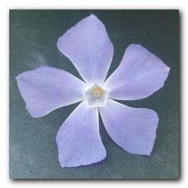 Pentagon Flower